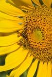 Zonnebloem en bij in de tuin Royalty-vrije Stock Afbeeldingen