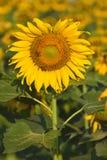Zonnebloem en bij in de tuin Stock Foto