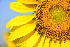 zonnebloem en bij met blauwe hemel Royalty-vrije Stock Afbeeldingen