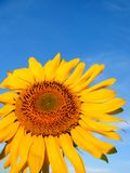 Zonnebloem en blauwe hemel stock afbeelding