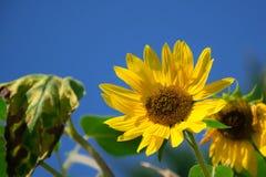 Zonnebloem en blauwe hemelachtergrond Royalty-vrije Stock Foto's