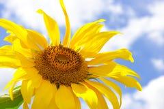 Zonnebloem en de blauwe achtergrond van de de zomerhemel Royalty-vrije Stock Afbeeldingen