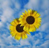 Zonnebloem en hemel Royalty-vrije Stock Afbeeldingen