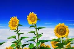 Zonnebloem en hemel Stock Afbeelding