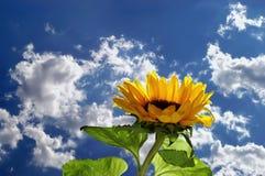 Zonnebloem en hemel met wolken Royalty-vrije Stock Foto