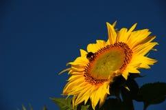 Zonnebloem en hommel Stock Afbeeldingen