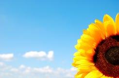 Zonnebloem en lichtblauwe hemel Royalty-vrije Stock Afbeeldingen