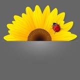 Zonnebloem en onzelieveheersbeestje op grijze achtergrond. Royalty-vrije Stock Foto's