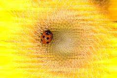 Zonnebloem en onzelieveheersbeestjes stock foto