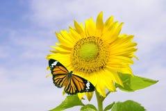 Zonnebloem en oranje vlinder Stock Foto's