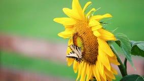 Zonnebloem en vlinder stock videobeelden