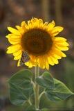 Zonnebloem en vlinder Stock Foto's