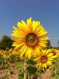 Zonnebloem flora1 stock afbeelding