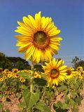 Zonnebloem flora2 royalty-vrije stock fotografie