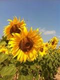 Zonnebloem flora4 stock foto's