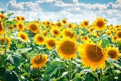 Zonnebloem geel hoofd Stock Foto