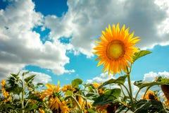 Zonnebloem geel hoofd Royalty-vrije Stock Afbeeldingen