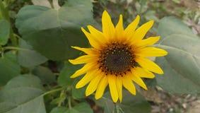 Zonnebloem, gele bloem, zonnebloem met groen blad royalty-vrije stock afbeeldingen