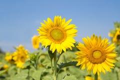 Zonnebloem het bloeien Stock Fotografie