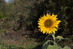 Zonnebloem in het licht van de zon Royalty-vrije Stock Fotografie