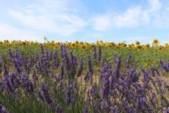 Zonnebloem & Lavendel Stock Foto