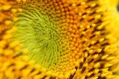 Zonnebloem, macro met detail van stuifmeel wordt geschoten, selectieve nadruk die Royalty-vrije Stock Foto