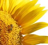 Zonnebloem met bij Stock Afbeelding