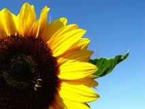 zonnebloem met bij Stock Foto