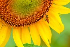 Zonnebloem met bij Stock Afbeeldingen