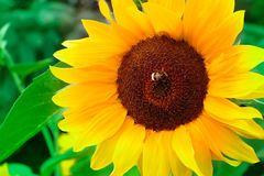 Zonnebloem met bij of hommel in de zomer stock afbeeldingen