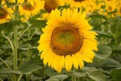 Zonnebloem met bijen op groene achtergrond Royalty-vrije Stock Foto's