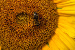 Zonnebloem met Bijenmacro Royalty-vrije Stock Afbeeldingen