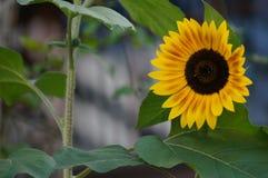 Zonnebloem met Bladeren Royalty-vrije Stock Afbeelding