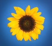 Zonnebloem met blauwe achtergrond Royalty-vrije Stock Foto's