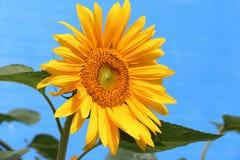 Zonnebloem met Blauwe achtergrond Stock Afbeeldingen