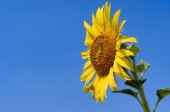 Zonnebloem met blauwe hemel Royalty-vrije Stock Foto's