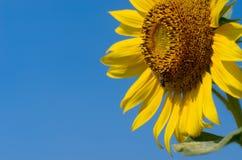 Zonnebloem met blauwe hemel Stock Foto