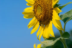 Zonnebloem met blauwe hemel Stock Fotografie