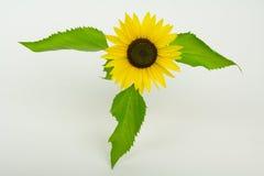 Zonnebloem met bloemblaadjes Stock Afbeeldingen