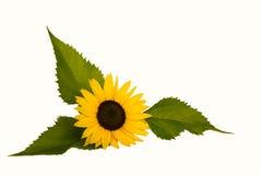 Zonnebloem met drie bladeren Royalty-vrije Stock Afbeelding