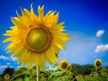 Zonnebloem met een daling van nectar Stock Afbeeldingen