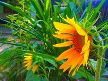 Zonnebloem met groene achtergrond Stock Foto's