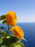 Zonnebloem met het overzees op achtergrond Stock Afbeeldingen