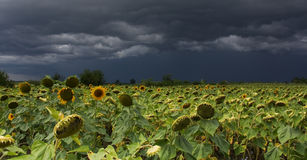 Zonnebloem met onweer Stock Foto