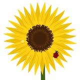 Zonnebloem met onzelieveheersbeestje en dauw royalty-vrije illustratie