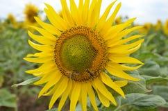 Zonnebloem met twee bijen Stock Afbeeldingen