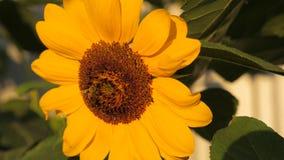 Zonnebloem met twee honingbijen die stuifmeel op zonnebloemhoofd verzamelen stock videobeelden
