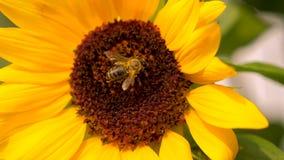 Zonnebloem met twee honingbijen die stuifmeel op zonnebloemhoofd verzamelen stock video
