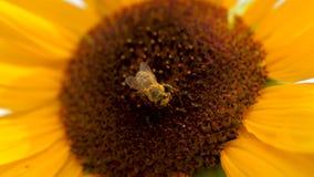 Zonnebloem met twee honingbijen die stuifmeel op zonnebloemhoofd verzamelen stock footage