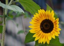Zonnebloem met vlieg en wijnstok Stock Foto's